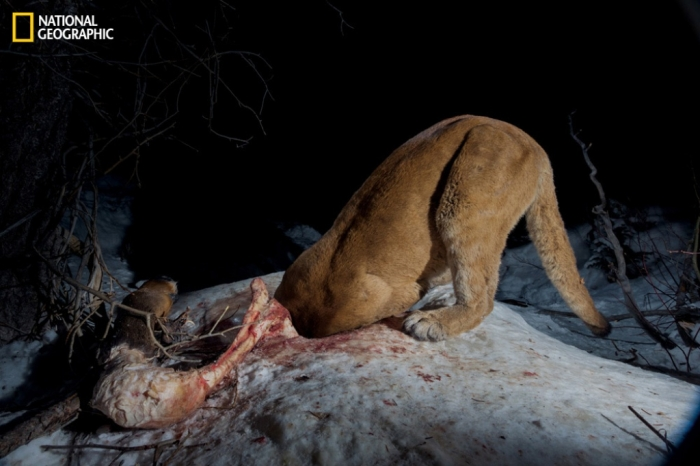 """72016_ba19bea49ab9c6e6bbcd97a951a24122_0576255b7451d9c350738f217fcf3b15 Mountain Lion """"The Large Cat"""" ... Most Hidden Facts"""