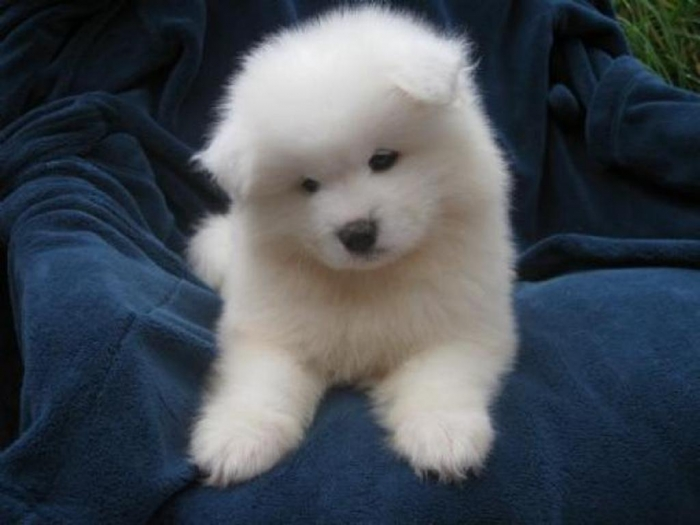 822 Do You Like the Fluffy Samoyed Puppies?