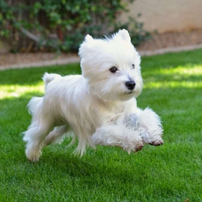 CUTE-WESTIE-PUPPY 5 Most Hidden Facts About Westie Puppies ... [Exclusive]