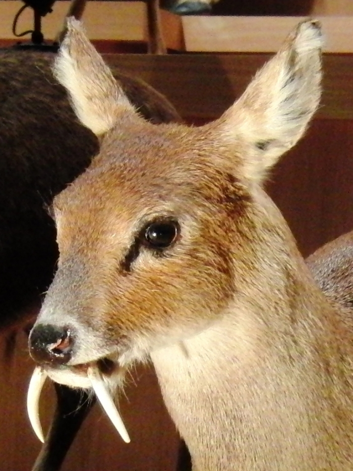 Chinese_water_deer_Stuffed_specimen_2 Take a Look at the Scary Vampire Deer before It Disappears