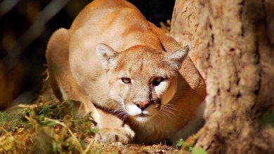 "Photo of Mountain Lion ""The Large Cat"" … Most Hidden Facts"