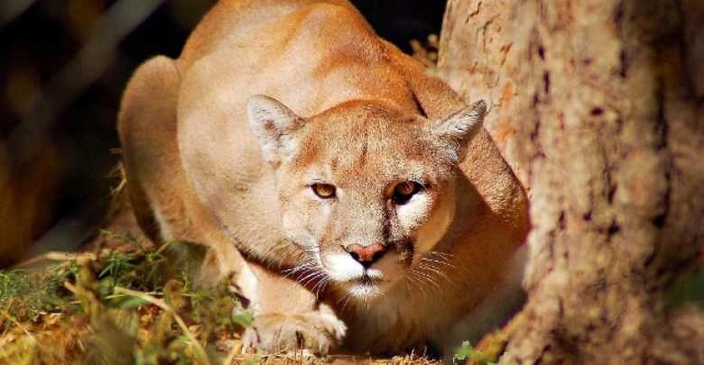 """Photo of Mountain Lion """"The Large Cat"""" … Most Hidden Facts"""