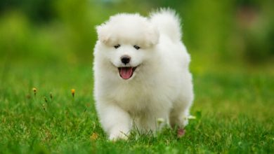 Photo of Do You Like the Fluffy Samoyed Puppies?