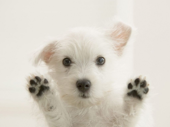 Cute-Westie-Puppy-westies-23783525-1600-1200 5 Most Hidden Facts About Westie Puppies ... [Exclusive]