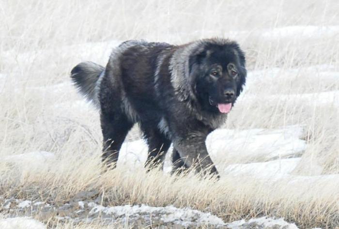 DSC_8569sn Top 7 Strangest Caucasian Mountain Dog Facts
