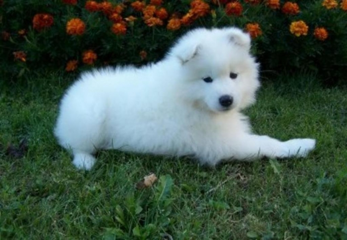 HVQnoGQwJq Do You Like the Fluffy Samoyed Puppies?