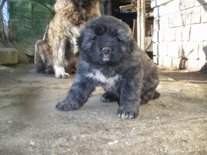 IMGP2342 Top 7 Strangest Caucasian Mountain Dog Facts
