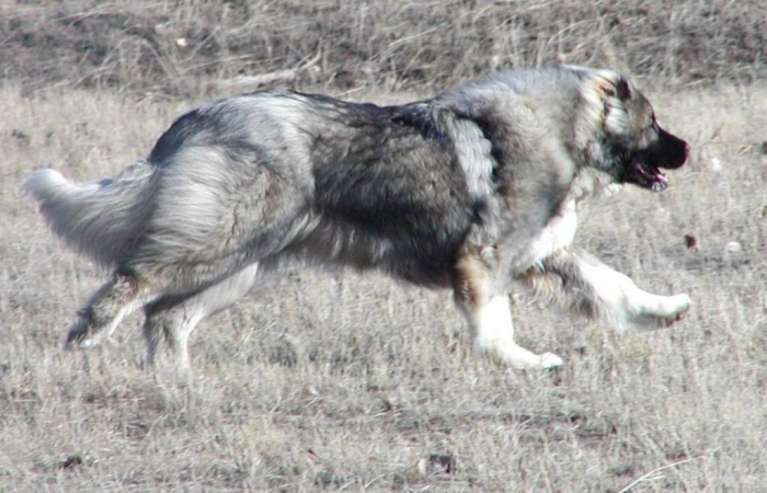 Image268 Top 7 Strangest Caucasian Mountain Dog Facts