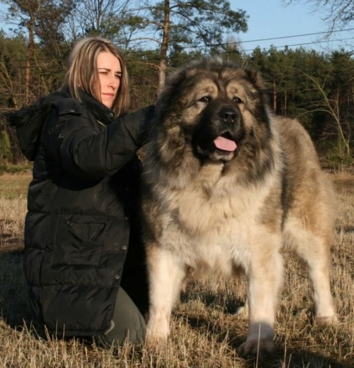 Top 7 Strangest Caucasian Mountain Dog Facts Pouted