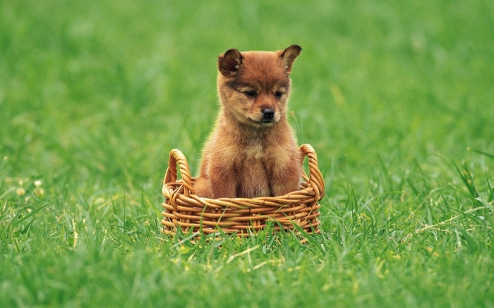 Little_Shiba_Inu_puppy What is The Dog Breed Shiba Inu Puppies?