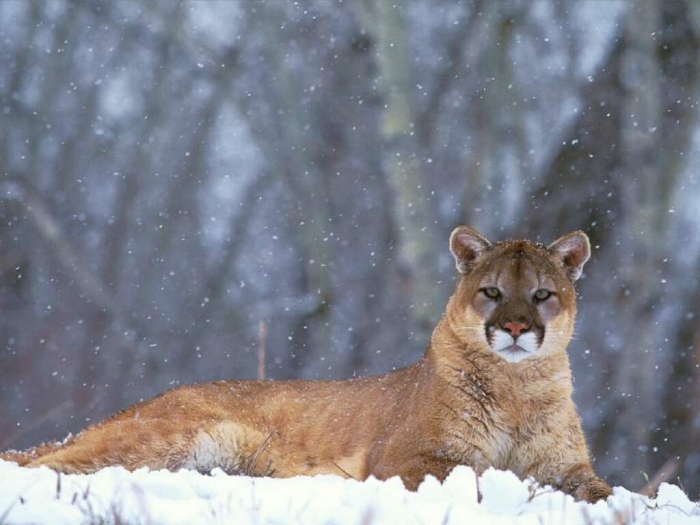 "Mountain-Lion-Colorado Mountain Lion ""The Large Cat"" ... Most Hidden Facts"