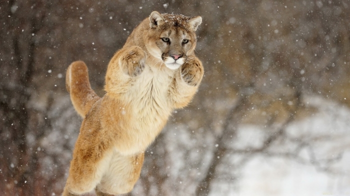 """Mountain-Lion-Leaping-Wallpaper Mountain Lion """"The Large Cat"""" ... Most Hidden Facts"""