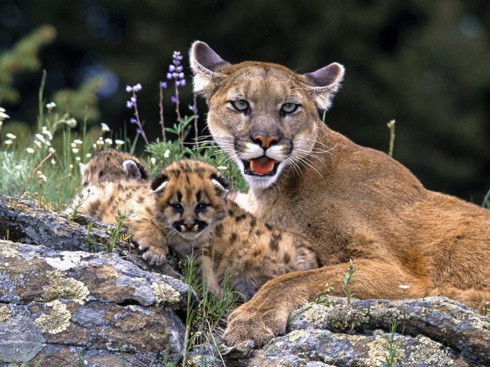 """Mountain-Lion Mountain Lion """"The Large Cat"""" ... Most Hidden Facts"""