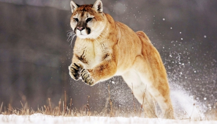 """Mountain_Lion_Wide Mountain Lion """"The Large Cat"""" ... Most Hidden Facts"""
