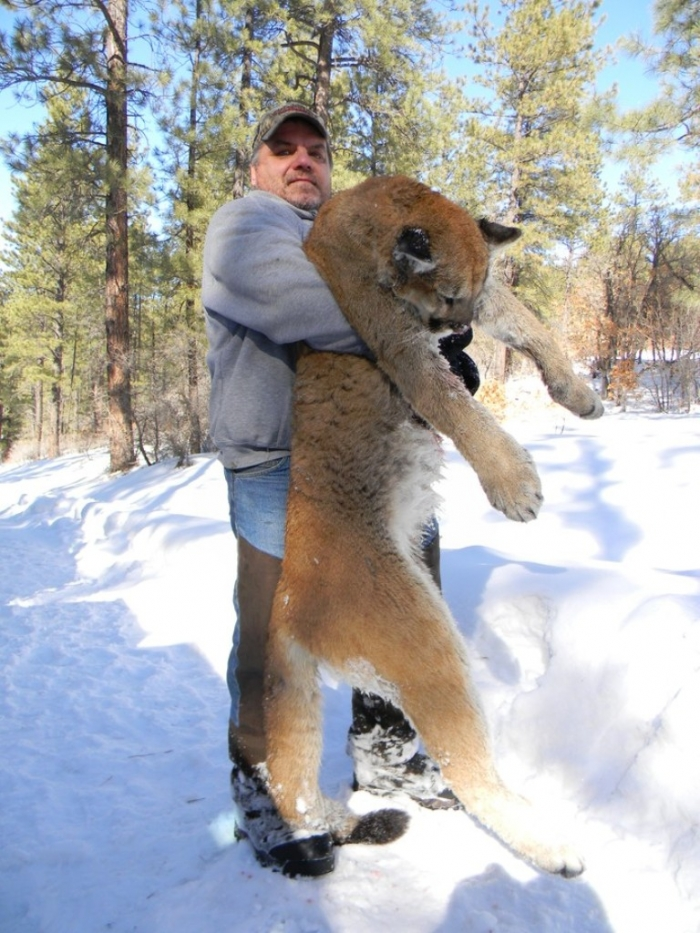 """New-Mexico-Mountain-Lion-Hunt-632 Mountain Lion """"The Large Cat"""" ... Most Hidden Facts"""