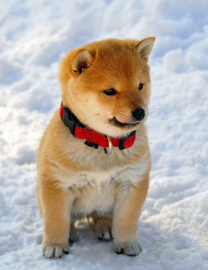 October-05-2012-01-42-09-ck What is The Dog Breed Shiba Inu Puppies?