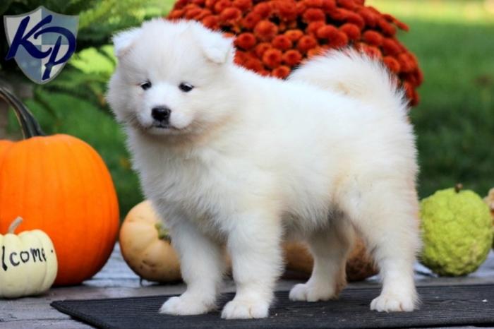 Princess-Samoyed Do You Like the Fluffy Samoyed Puppies?