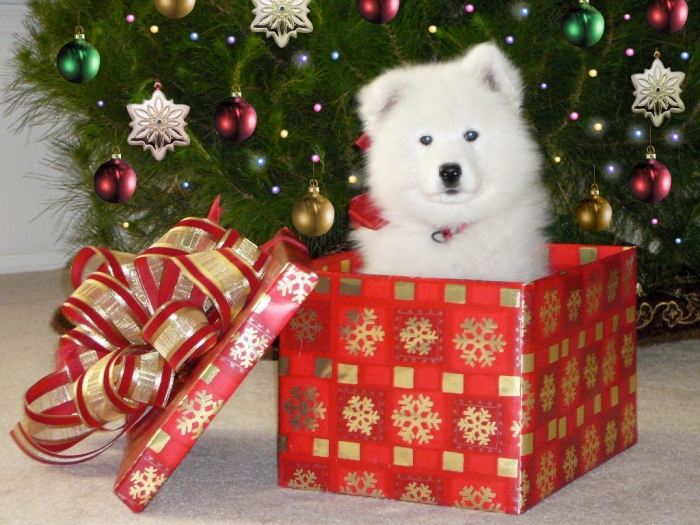 RyderPerfect_Puppy2 Do You Like the Fluffy Samoyed Puppies?
