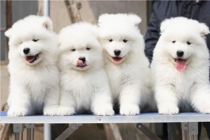 Samoyed-Puppies-Photos Do You Like the Fluffy Samoyed Puppies?