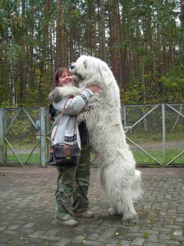 South-Russian-Ovcharka-Alex-Snow-Rose Top 7 Strangest Caucasian Mountain Dog Facts