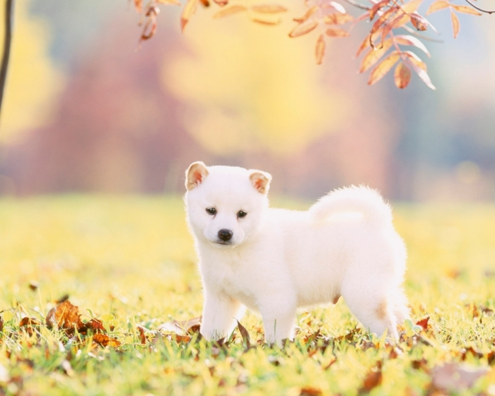 SuperStock_1269-2558 What is The Dog Breed Shiba Inu Puppies?
