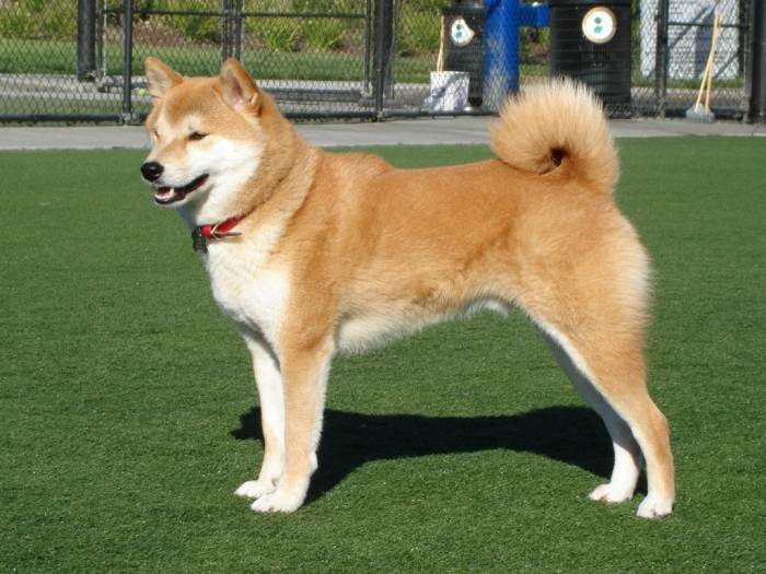 Taka_Shiba What is The Dog Breed Shiba Inu Puppies?