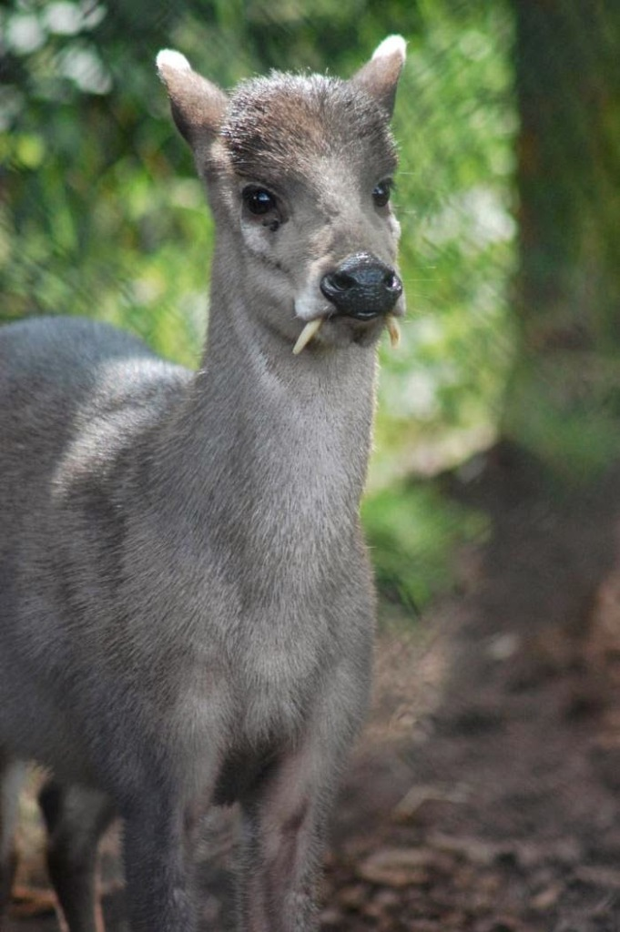 Tufted_Deer Take a Look at the Scary Vampire Deer before It Disappears