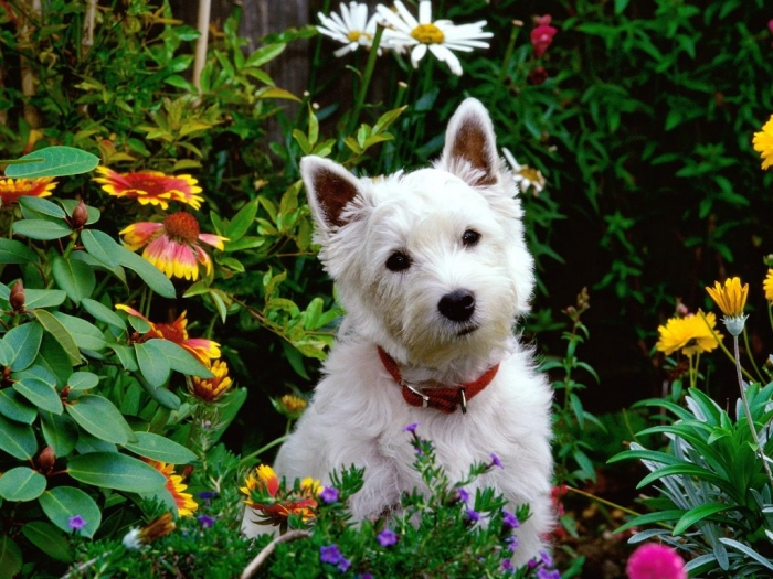 West-Highland-Terrier 5 Most Hidden Facts About Westie Puppies ... [Exclusive]