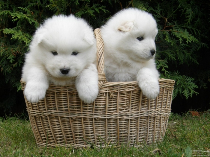 animal-wallpapers-siberian-samoyed-puppy-wallpaper-30966 Do You Like the Fluffy Samoyed Puppies?
