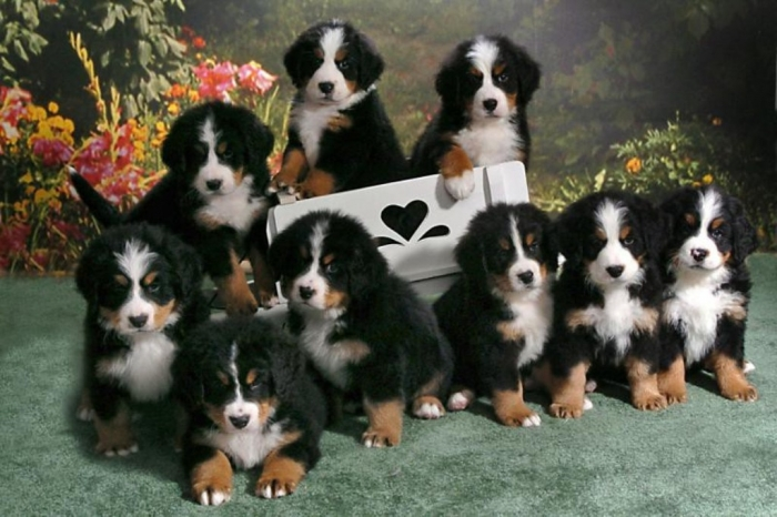 bernese-mountain-dog-puppies-qpthmwkt-e1394049156428 Top 7 Strangest Caucasian Mountain Dog Facts