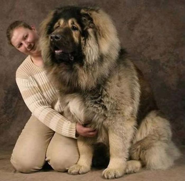 big-dog-breeds Top 7 Strangest Caucasian Mountain Dog Facts