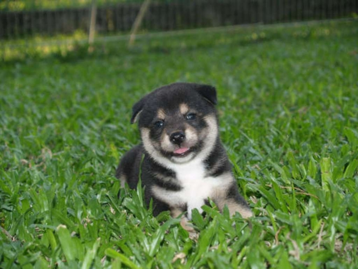 black-shiba-inu-puppy What is The Dog Breed Shiba Inu Puppies?