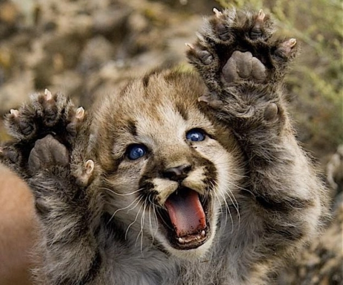 """cute-baby-mountain-lion Mountain Lion """"The Large Cat"""" ... Most Hidden Facts"""