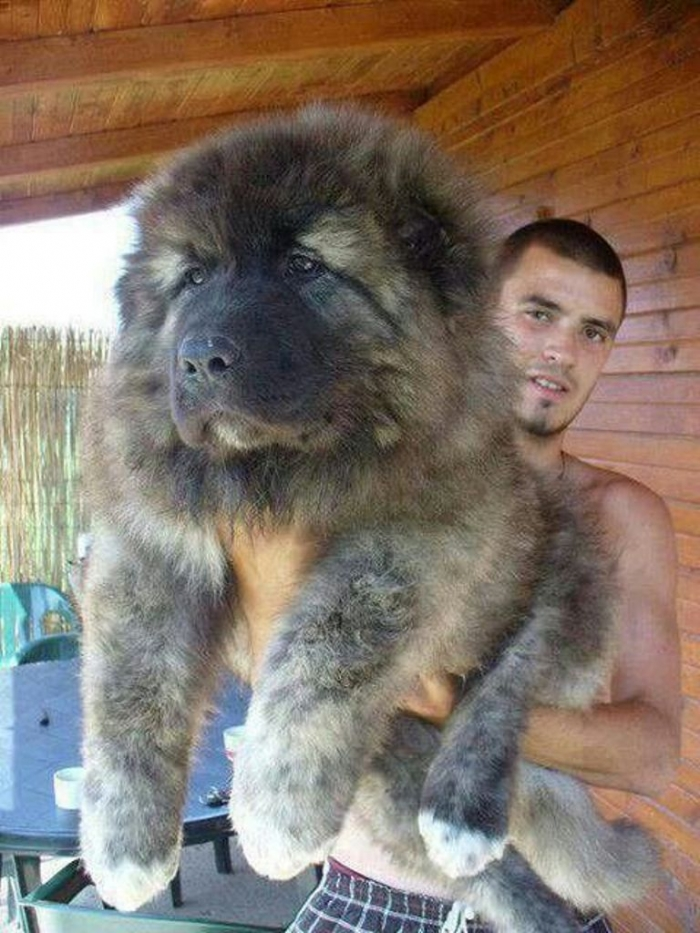 dd7b2a6d6c8d49f8526a08ae02ea3e14 Top 7 Strangest Caucasian Mountain Dog Facts