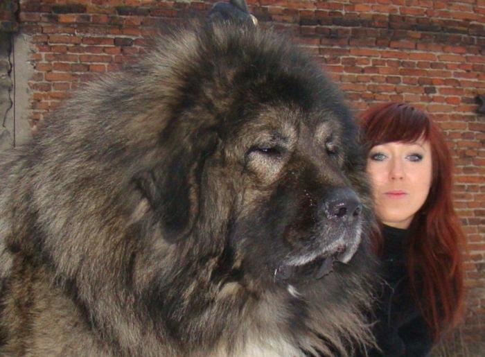 f56e4b7408b4b4d8c0cb36daf6ccb098 Top 7 Strangest Caucasian Mountain Dog Facts