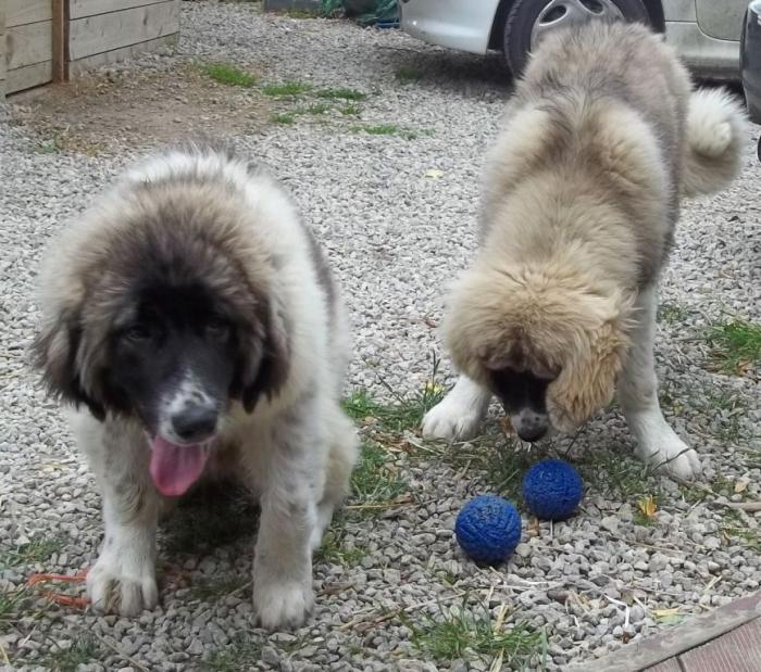 fci-caucasian-ovcharka-puppies-champion-bloodlines-51db20c263bc4 Top 7 Strangest Caucasian Mountain Dog Facts
