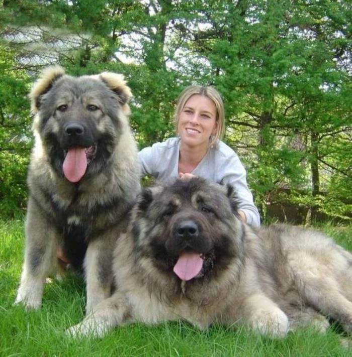 king-of-dogs-04 Top 7 Strangest Caucasian Mountain Dog Facts