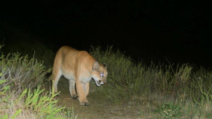 """la-me-griffith-park-mountain-lion-pictures-001 Mountain Lion """"The Large Cat"""" ... Most Hidden Facts"""