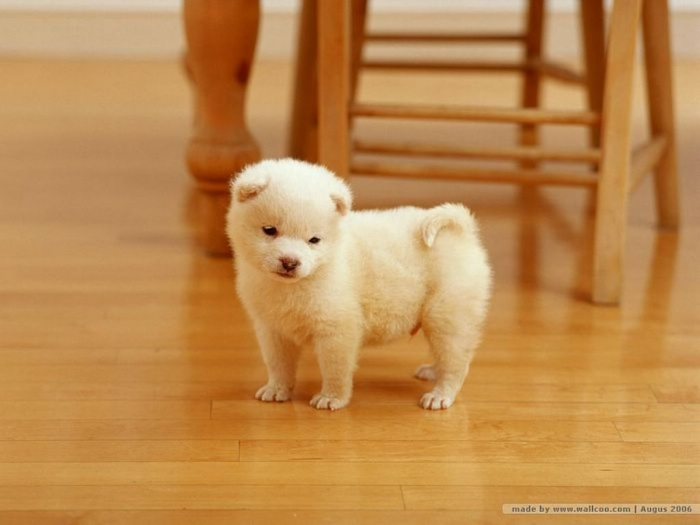 lovely_puppy_dog_wallpaper_Vol_124_FC082 What is The Dog Breed Shiba Inu Puppies?