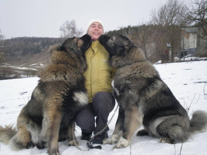 Caucasian Mountain Shepherd For Sale >> Top 7 Strangest Caucasian Mountain Dog Facts Pouted Com