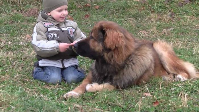 maxresdefault Top 7 Strangest Caucasian Mountain Dog Facts