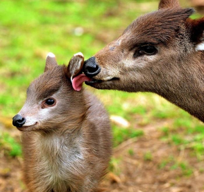 morebabytuftedddeer Take a Look at the Scary Vampire Deer before It Disappears