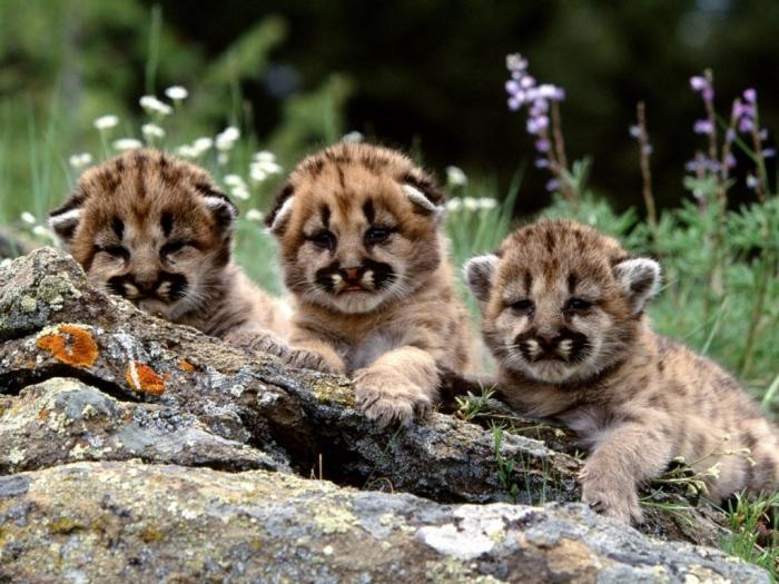 "mountain-lion-cub Mountain Lion ""The Large Cat"" ... Most Hidden Facts"