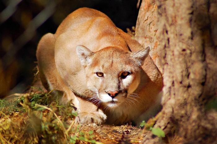 "mountain-lion-jr2012 Mountain Lion ""The Large Cat"" ... Most Hidden Facts"
