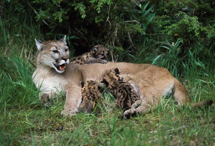 "mountain-lion-nursing-cubs-david-ponton Mountain Lion ""The Large Cat"" ... Most Hidden Facts"