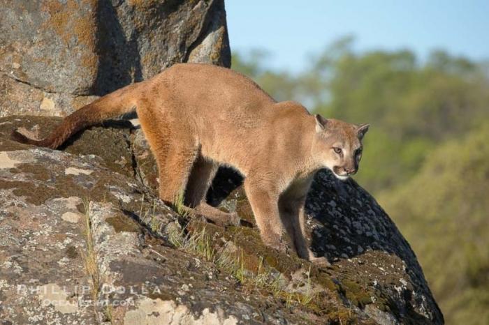 "puma-concolor-mountain-lion-photo-15792-677246 Mountain Lion ""The Large Cat"" ... Most Hidden Facts"