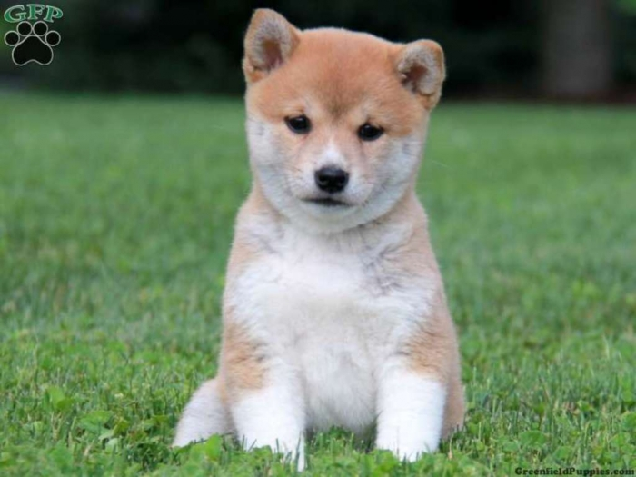 pup_x_1372473619_0 What is The Dog Breed Shiba Inu Puppies?