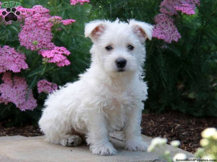 pup_x_1372557277_0 5 Most Hidden Facts About Westie Puppies ... [Exclusive]