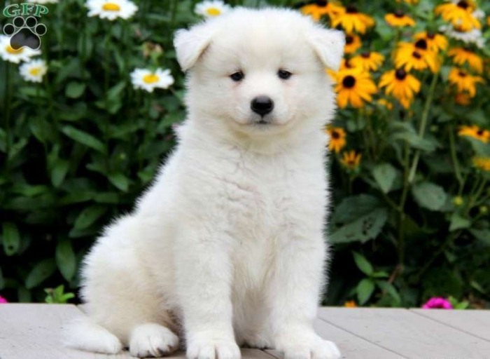 pup_x_1374703741_1 Do You Like the Fluffy Samoyed Puppies?