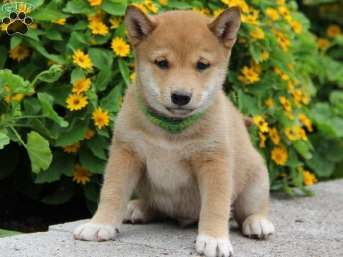 pup_x_1377523104_0 What is The Dog Breed Shiba Inu Puppies?